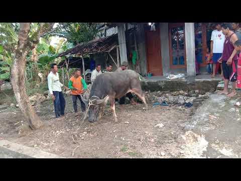 Jagal Kerbau Ngakak So Hard