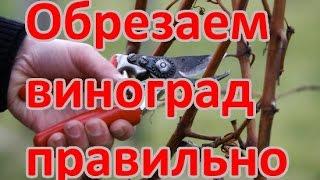 КАК ОБРЕЗАТЬ ВИНОГРАД (детальная схема обрезки винограда)