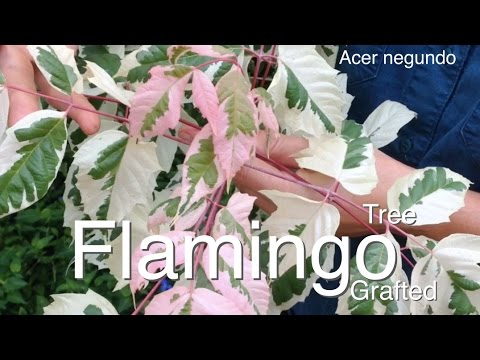 Flamingo Maple Tree Grafted - Stunning Pink Flush (Acer negundo)