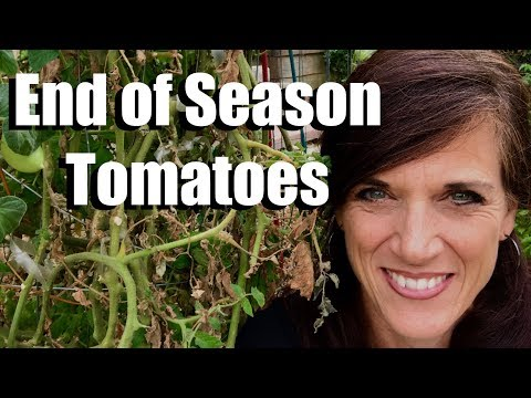 Tomato Plants: What To Do At The End Of The Season