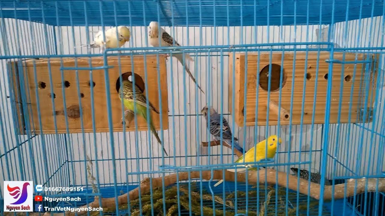 ✅ Thăm Lồng Chim Yến Phụng Bán Cho Khách Và Điều Bất Ngờ || Nguyên Sách – Tập 42