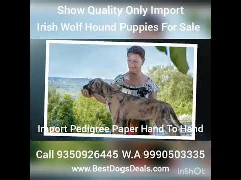 Irish Wolf Hound Puppies For Sale 9350926445 World Largest Dog