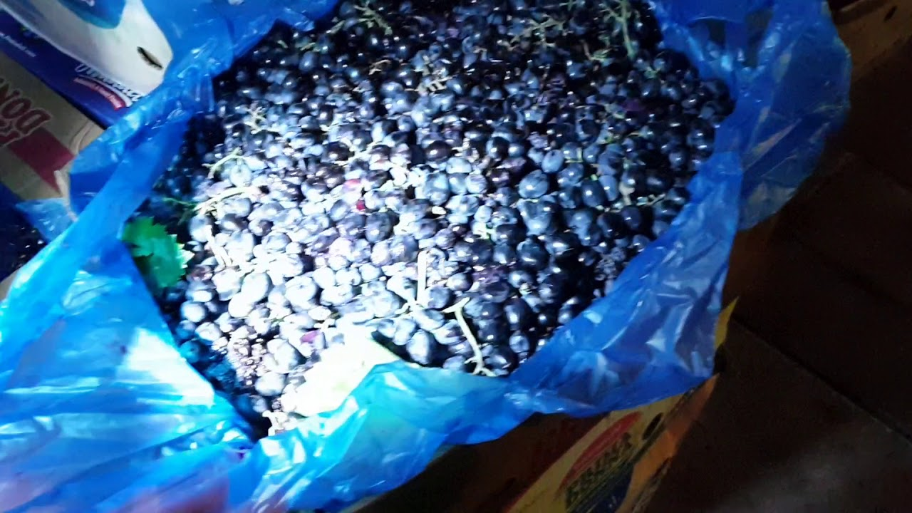 ДОМАШНЕЕ ВИНО - Теребление винограда начало производства Пробуем сусло +79628710894 #АНАПА #ВИТЯЗЕВО