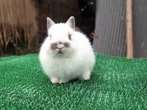 กระต่ายพันธ์ ND (N1861)