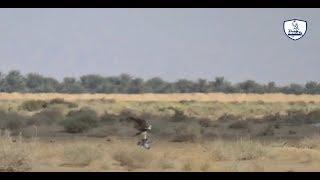 صيد صقر طرح هاذا الاسبوع/Hunting falcon is wonderful