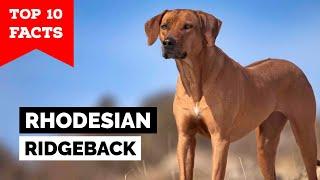 Rhodesian Ridgeback  Top 10 Facts