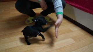 Tiny Toy French Bulldog For Sale At Puppy Elite Teacups 4.5 Months Old!