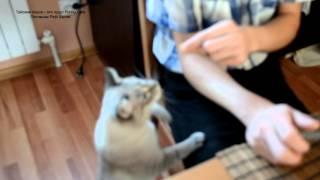 Улётное видео! Тайский кот вежливо лапкой просит еду! Тайские кошки - это чудо! Funny Cats