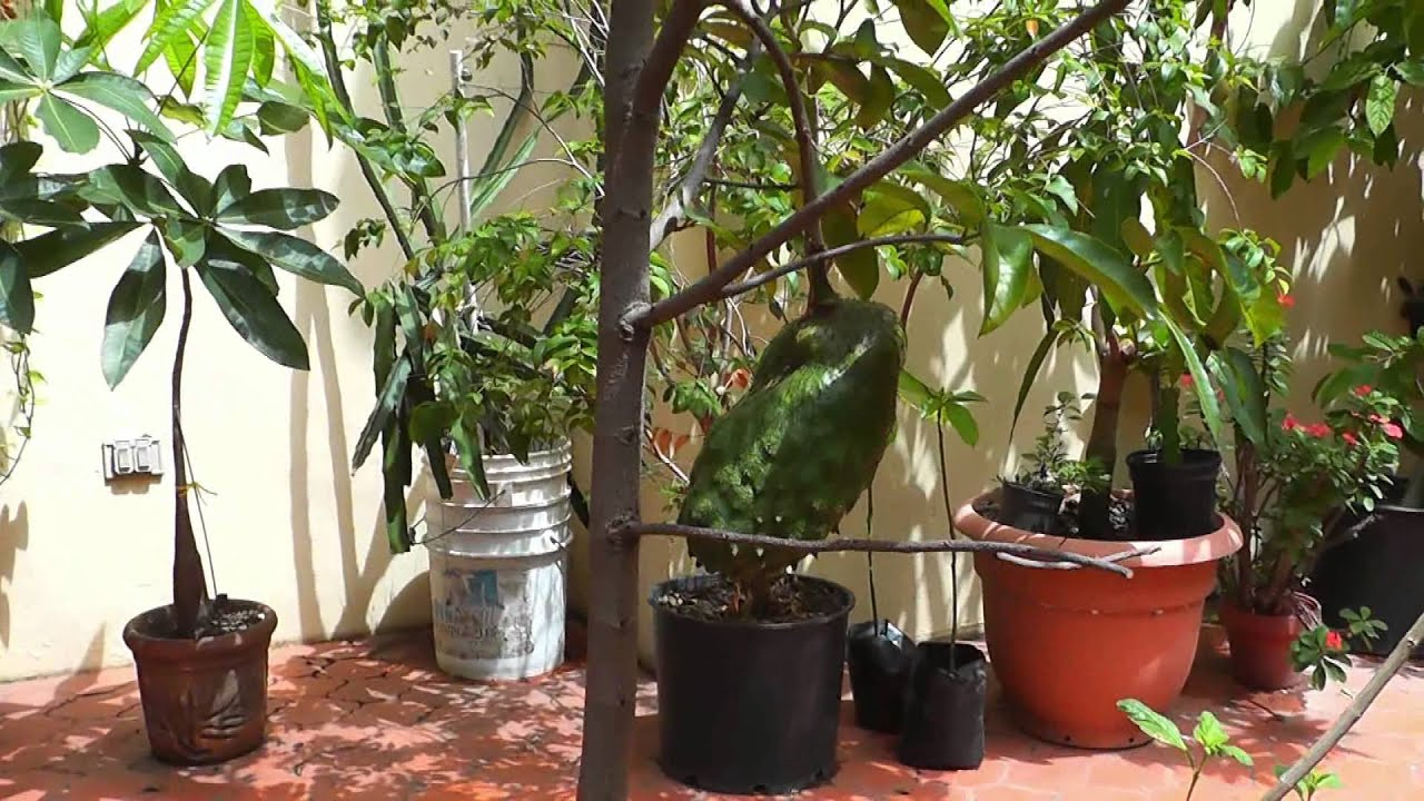 Growing fruits in containers YouTube