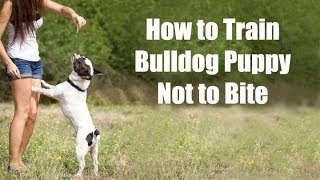 How to Train Bulldog : How to Train Bulldog Puppy Not to Bite