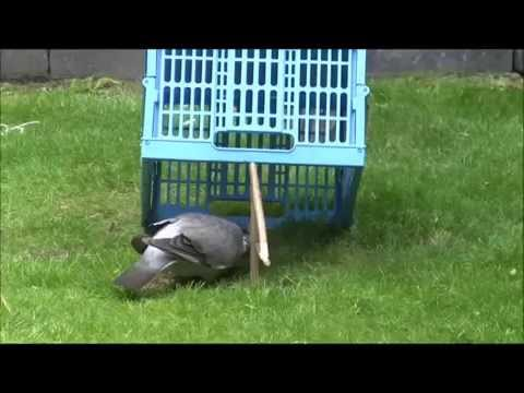 Pigeon trap in action HD