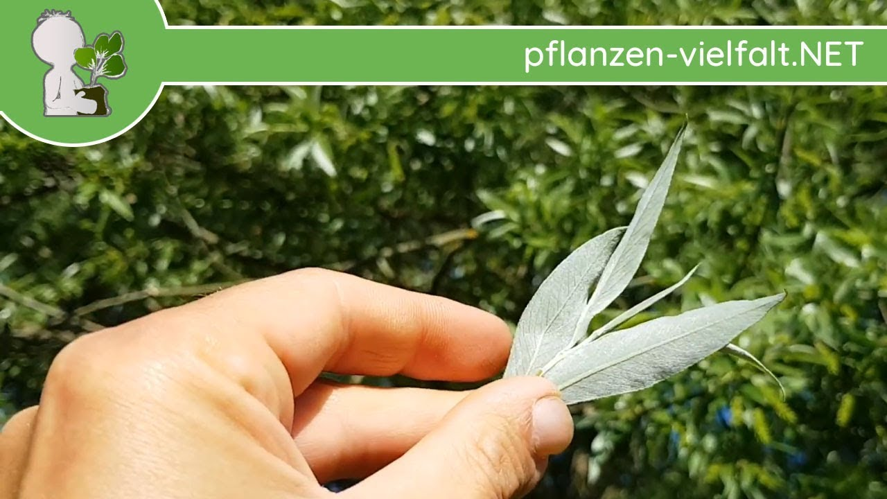pflanzen blätter bestimmen