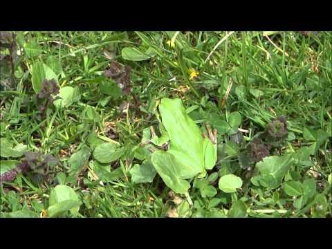 Rosnička zelená - (Hyla arborea) - Treefrog