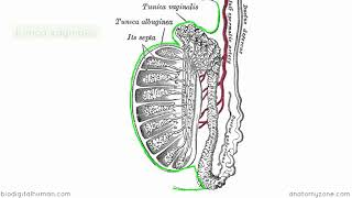 Introduction to Male Reproductive Anatomy   Part 1   Testis and Epididymis
