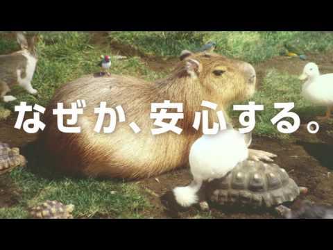 """カピバラの""""なぜか安心する""""シーンのオンパレード!Web限定動画「#なぜか安心する『カピまる(*´ω`*)劇場』」"""