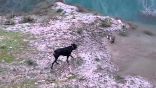 czechoslovakian wolfdog Roko vs black rottie Aris