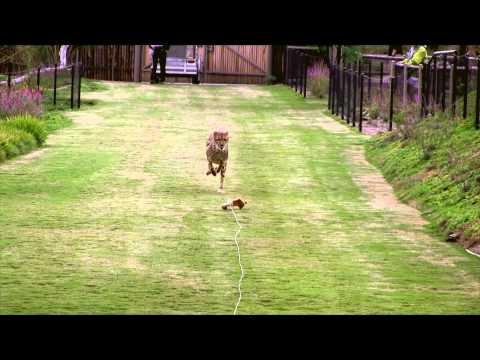 Cheetah Run - HD