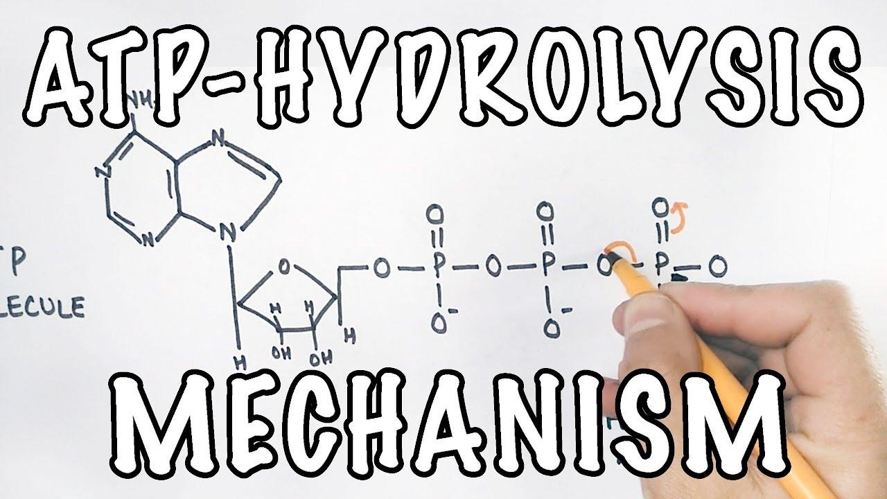 Mechanism of ATP Hydrolysis - YouTube