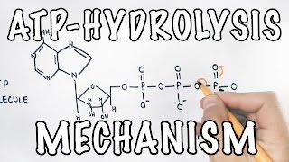 Mechanism of ATP Hydrolysis
