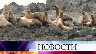 В Петропавловске-Камчатском сивучи облюбовали для зимовки пирсы и прибрежные скалы города.