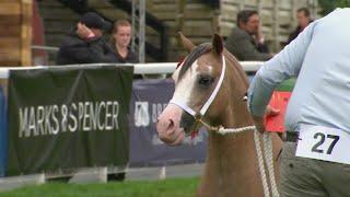 Merlod Mynydd Cym Ebol Blwydd | Welsh Mountain Ponies Yearling Foal