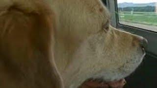 盲導犬として活躍し、人間を支え続けてきたオリバーですが腫瘍があるこ...
