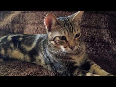 Sokoke cat in Spain | Кот породы сококе Испания