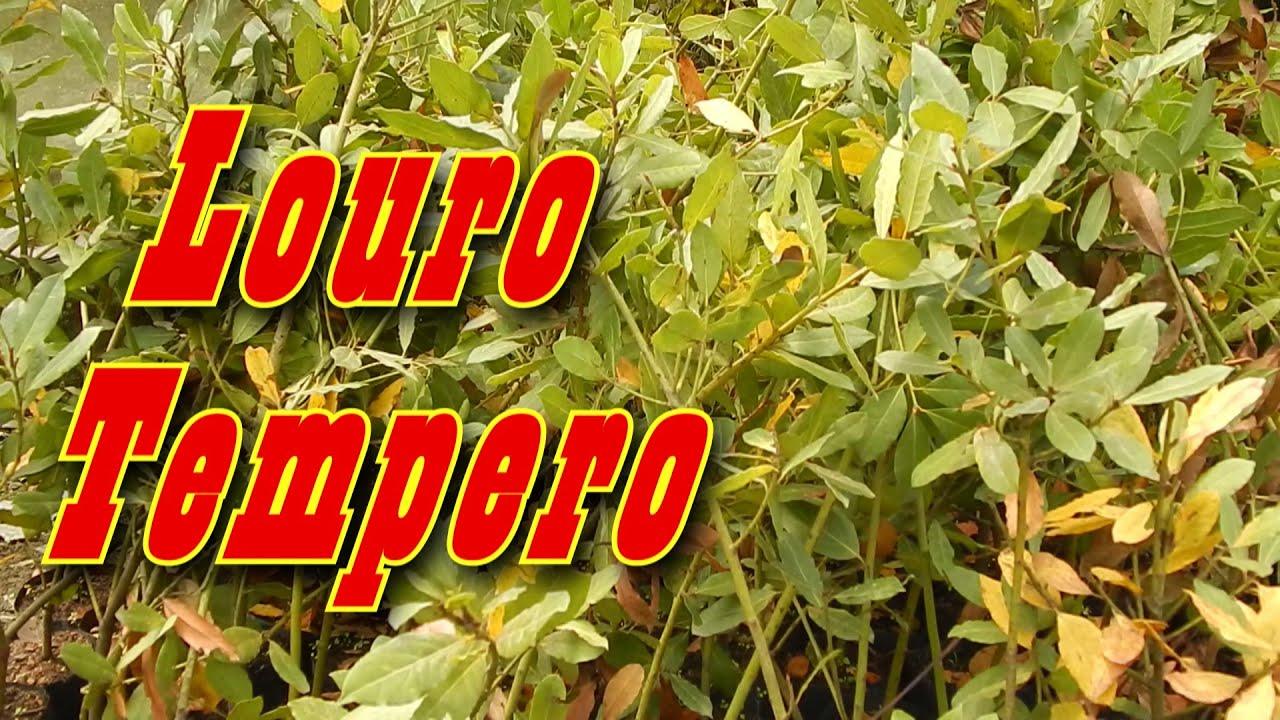 Mondini plantas como cultivar louro tempero youtube for Como cultivar plantas ornamentales