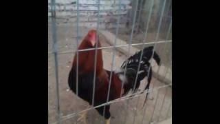 los mejores gallos de durango