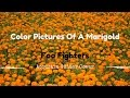 watch he video of Color Pictures Of A Marigold - Foo Fighters - Acoustic Guitar Cover