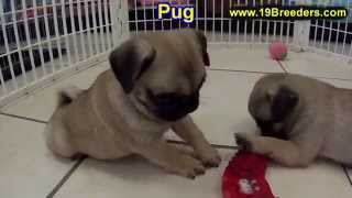 Pug, Puppies, For, Sale, In, Gillette, Wyoming, Wy, Rock Spriings, Sheridan