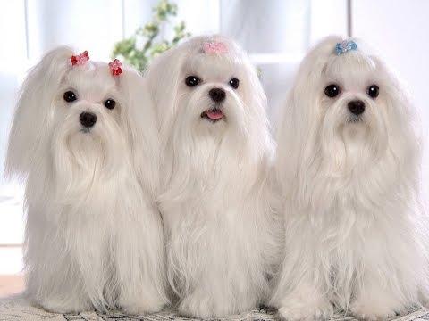 Shih Tzu Shih Tzu Dog Breed  Breed