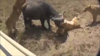 the movie of wildlife. 【最強動物バトル】ライオンとバッファローの長...