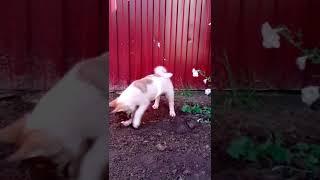 Щенок западно сибирской лайки копает землю