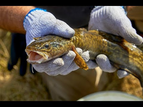 TransCanada and Trout Unlimited Calgary Fish Rescue