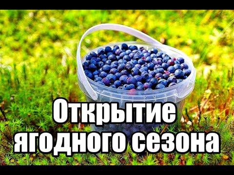 Черника.Открытие черничного сезона 2020.Сбор черники в Беларуси в 2020 году