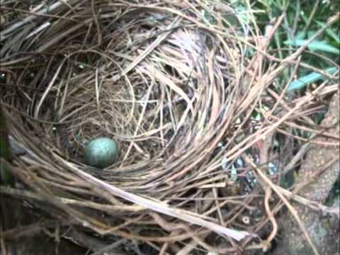 House Crow3 - The Beginning- Nest, Egg n Hatching.