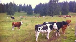 LE JURA, vaches et musique (39)