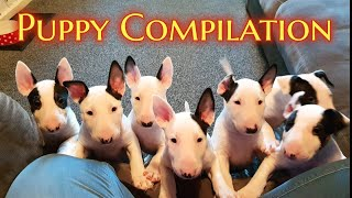 EPIC Bull Terrier PUPPY compilation