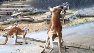 多摩動物公園でのカンガルーボクシング。 途中から体の大きいのが参戦し...