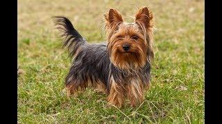 Хочу собаку. Йоркширский терьер | Телеканал