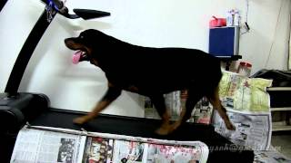 My 24 Months Rottweilers Rocky & Rex Exercise On Treadmill Nov 2013