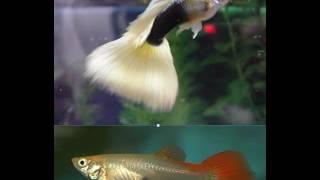 Гуппи  содержание, уход, размножение (аквариумные рыбки гуппи) Guppy keeping, care, breeding