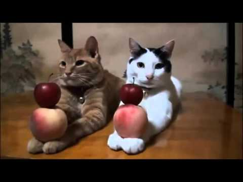 Lustige Katzen Videos Zusammenstellung Versuchen, Nicht zu Lachen | Neue und Beste Komisch