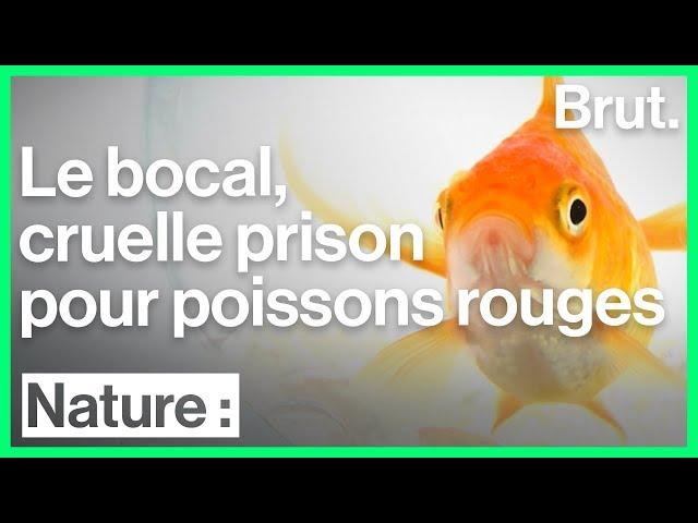 Les conditions de vie inadaptées des poissons rouges