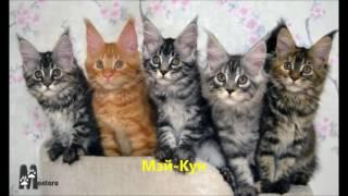 Животные. Кошки. Породы кошек, разнообразие окрасов, расцветок шерсти - фото и приятная музыка