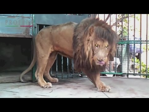 25 animales rescatados de circos tendrán una mejor vida