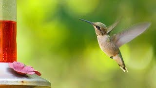 HUMMINGBIRDS -⭐ 5 Must-Know Facts - SLOW MOTION!  👈