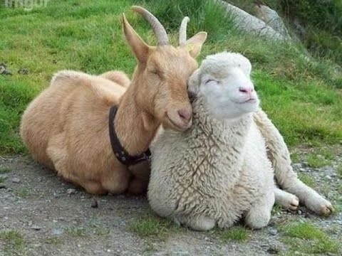 Image result for sheep and goat