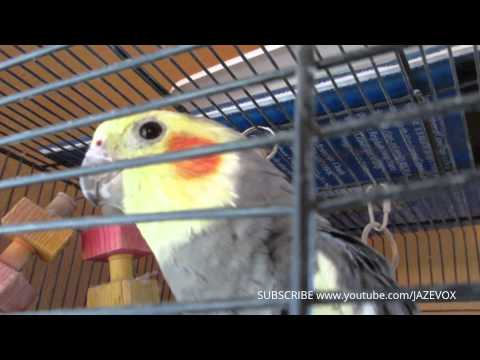 Cockatiel Talking Birds Noises Sounds - Cockatiels Pet Bird Talk Speak - Funny Animal Videos Jazevox